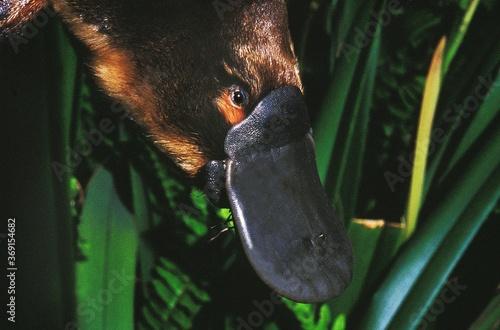 Obraz na płótnie PLATYPUS ornithorhynchus anatinus, CLOSE-UP OF BEAK, AUSTRALIA
