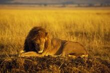 AFRICAN LION Panthera Leo, MALE SLEEPING, MASAI MARA PARK, KENYA