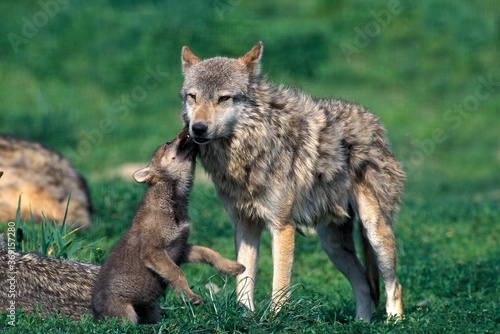 Billede på lærred EUROPEAN WOLF canis lupus, FEMALE PLAYING WITH PUP