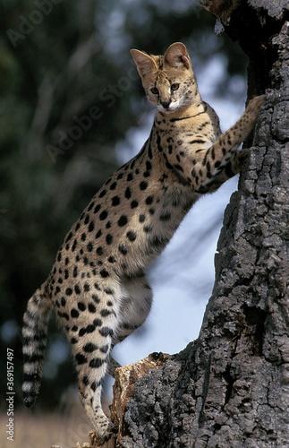 Tablou Canvas SERVAL leptailurus serval, ADULT STANDING ON HIND LEGS