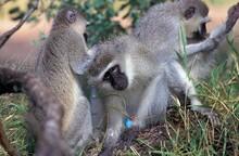 VERVET MONKEY Cercopithecus Aethiops, GROUP GROOMING, KENYA