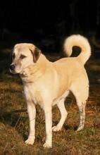 ANATOLIAN SHEPHERD DOG, ADULT