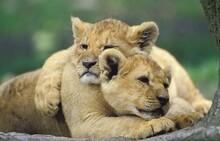 AFRICAN LION Panthera Leo, CUB SLEEPING, KENYA