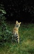 canvas print picture - SERVAL leptailurus serval, ADULT STANDING ON GRASS