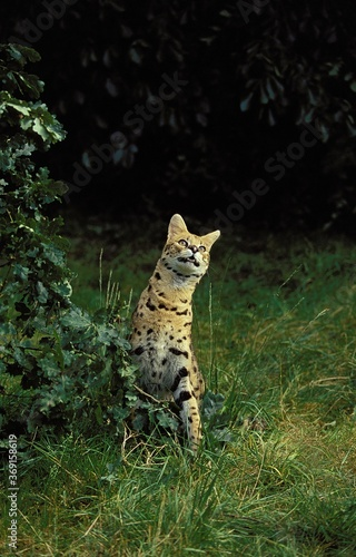 Valokuva SERVAL leptailurus serval, ADULT STANDING ON GRASS
