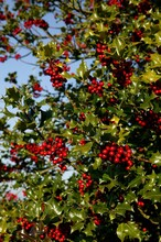 EUROPEAN HOLLY Ilex Aquifolium WITH RED BERRIES, NORMANDY IN FRANCE