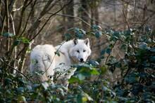 ARCTIC WOLF Canis Lupus Tundra...