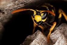 Common Wasp, Vespula Vulgaris,...