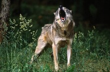 EUROPEAN WOLF Canis Lupus, ADULT HOWLING
