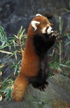 RED PANDA Ailurus Fulgens, ADULT STANDING ON HIND LEGS
