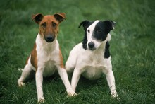 SMOOTH FOX TERRIER DOG, ADULTS SITTING ON GRASS