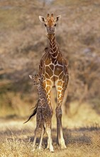 RETICULATED GIRAFFE Giraffa Camelopardalis Reticulata, MOTHER WITH YOUNG, KENYA