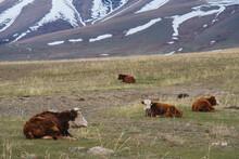 Mountain Landscape In Altai With Cows Lying On A Pasture