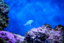 Green Chromis Fish In A Saltwa...
