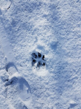 Shoe And Dog Paw Prints On Snow Shot From Above.