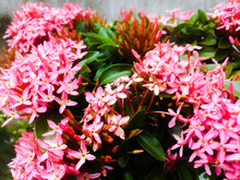 Ixora Flowers With Red Colored Buds And Green Leaves.