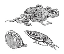 Octopus, Squid And Argonaut - Vintage Engraved Vector Illustration From Petit Larousse Illustré 1914