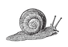 Escargot Garden Snail Gliding - Vintage Engraved Vector Illustration From Petit Larousse Illustré 1914