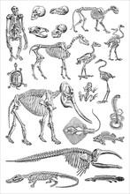 Animal Skeleton Collection - Vintage Engraved Vector Illustration From Petit Larousse Illustré 1914