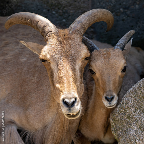 close up view of a barbary sheep mother and young lamb