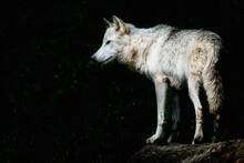 Magnifique Loup Du Canada Au P...