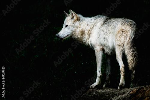 Fototapeta Magnifique loup du canada au pelage blanc - Canis lupus obraz na płótnie
