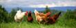 canvas print picture - Banner: Bio Eier- Glpckliche Hühner aus wirklicher Freilandhaltung auf einer grünen Wiese mit viel Platz