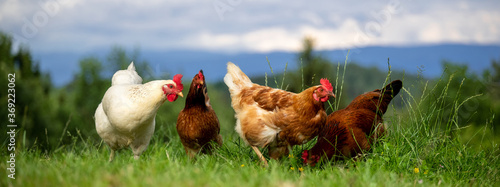 Leinwand Poster Banner: Bio Eier- Glpckliche Hühner aus wirklicher Freilandhaltung auf einer grü