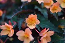 Blühende Begonie (Begonia)