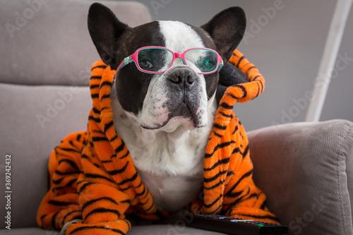 Obraz French bulldog in orange tiger bathrobe watch tv on the arm chair with remote control - fototapety do salonu