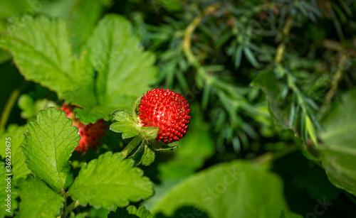 Fototapeta Red Duchesnea Indica berry witn green leaves in the garden