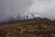 Group Of  Lhamas Or Guanacos Standing On Grasslands With Snowy Mountain On The Background In Patagonia, Chile.