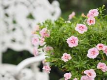 Petunia Easy Wave Color Pink F...