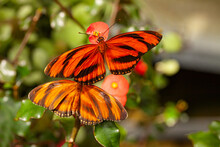 Two Banded Orange Heliconian Butterflies With Wings Spread Sitting Together On A Flower. In Latin Dryadula Phaetusa. Lives In Brazil North Through Central America To Central Mexico. Close Up Macro Pho