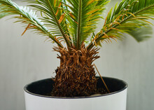 Cicus Palm Leaves Grow On Whit...