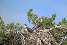 Two Juvenile Ospreys Standing ...