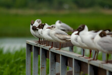 Black-headed Gull (Larus Ridibundus). Seagulls Are Sitting On The Railing