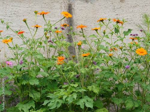 Photo (Gerbera jamesonii) Orange Gerbera oder Barberton Gänseblümchen im Garten