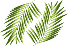 Palm Leaf Isolated On White. Vector.