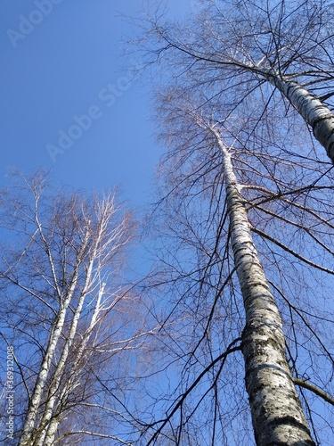 brzozy i niebo - 369312008