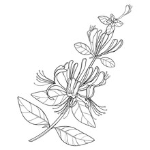Branch Of Outline Lonicera Or ...