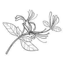 Bunch Of Outline Lonicera Or Japanese Honeysuckle With Flower, Bud And Leaf In Black Isolated On White Background.