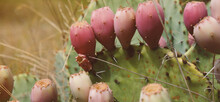 Prickly Pear Cactus Fruit Close Up