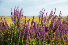 Closeup Of Purple Flowers In A Field At Golden Hour.