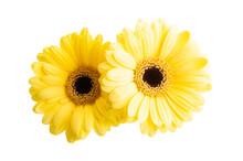 Yellow Gerbera Isolated