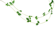 Jungle Vines Liana Plant With ...