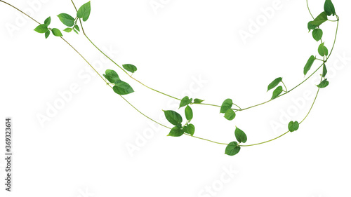 Jungle vines liana plant with heart shaped green leaves of Cowslip creeper (Telosma cordata), nature frame layout isolated on white background with clipping path Fototapeta
