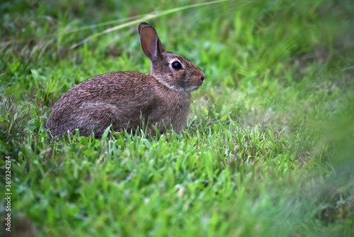 Eastern Cottontail With Ears at Attention