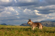 Dog in nature against the background of mountains, sky and clouds