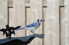 A Blue Jay At The Bird Bath